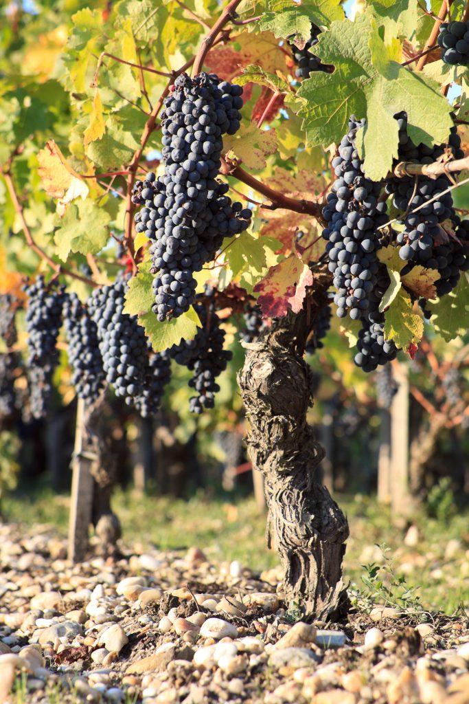 Pieds de vigne, Ch‰teau Montrose, 7 octobre 2010